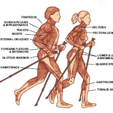 Nordic Pole Walking uses 90% of your muscles. The intensity is lower on each muscle but the repetitions are increased by the amount of time spent walking. This means we get more benefits with less energy output. And that burns more body fat :) Forever Fit, Duncan, BC.